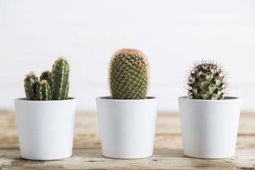 BM_Three-cactus-plants_110567275
