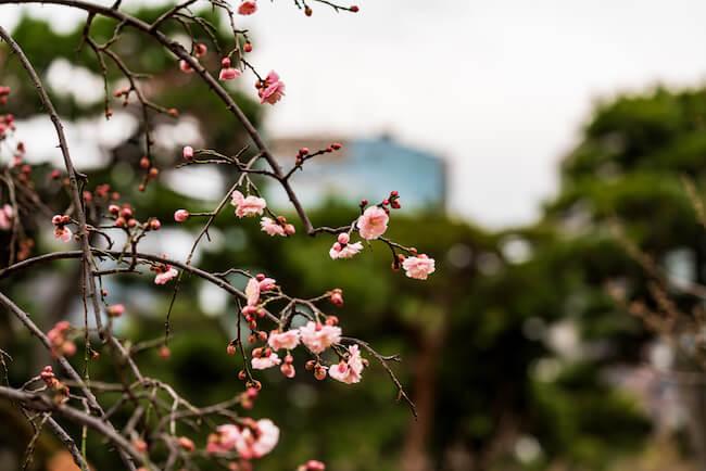 1月から梅が楽しめる?!小石川植物園